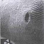 צופן על החפה של האצטרובל הנקבי בשרביטן ריסני. (Bino and Dafni, 1983)