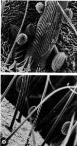 אבקה של שרביטן ריסני הנישאת על גוף הזבוב Lucilia caesar. מתוך: (Meeuse et. al., 1990)