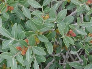 צמח זכר של אלת המסטיק, תפרחות זכריות . צילם: גדי פולק ©