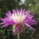 דרדר גדול פרחים סיקו