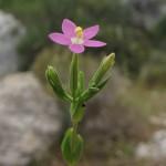 ערבז דק פרחים-2 סיקו