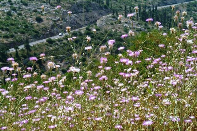 דרדר גדול-פרחים. צילם: אורי פרגמן-ספיר ©