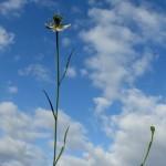 קצח השדה. צילם: ישי שמידוב ©