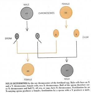 """קביעת הזוויג באדם ע""""י כרומוזמים X,Y. מקור: Scientific American."""
