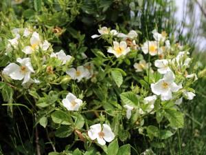 ורד צידוני. צילמה: ערגה אלוני ©