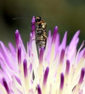 דרדר גדול-פרחים. צילמה: ערגה אלוני ©