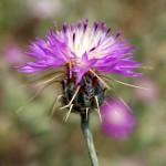 דרדר גדול-פרחים . צילמה: ערגה אלוני ©