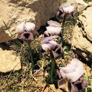 איריס סופרנה בעמק בולען. צילם: קובי שוויד ©