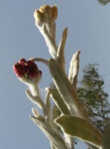 דם המכבים האדום - פרט רגיל ופרט אלבינו. צילם: שיר ורד ©