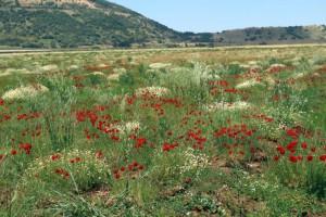 שדה עם קחוון מקופח ופרג אגסי תת-מין סורי. צילמה: ערגה אלוני © כ