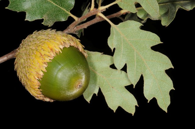 Read more about the article אלון חרמוני – מין ייחודי לחרמון