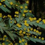 Acacia glaucoptera. צילם: אורי פרגמן-ספיר ©