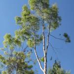 Eucalyptus citriodora. צילם: אורי פרגמן-ספיר ©
