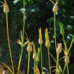 אגרוסטמת השדות. צילם: אורי פרגמן-ספיר ©