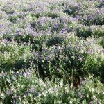 אגרוסטמת השדות. צילמה: עפרה פרידמן ©