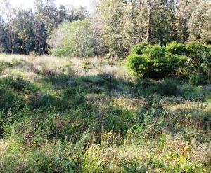 דודנאה דביקה ביער נען. צילם: גדי פולק ©