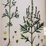 אמברוסיה לענתית Ambrosia artemisifolia