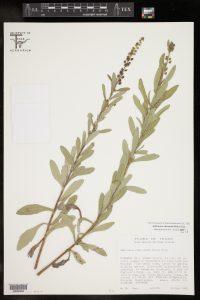 אמברוסיה כירנתיפוליה Ambrosia cheiranthifolia