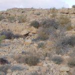 אשחר ארץ-ישראלי בנחל בטמים בהרי אילת. צילום: דפנה כרמלי ©