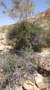 אשחר ארץ-ישראלי בהרי אילת. צילום: דפנה כרמלי ©