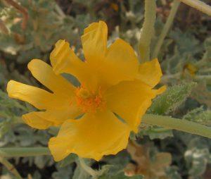 פרגה צהובה. צילום: שיר ורד ©