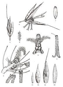 חלקי הפרח של בולבסן קיפח. מתוך ספר לימוד בגרמניה