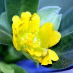רגלת הגינה. צילום: ערגה אלוני ©
