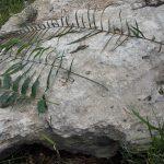עלי ענק של אברה ארוכת-עלים. צילום: אבי שמידע ©