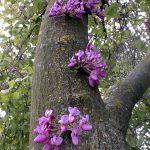 הגן הבוטני בהר הצופים. פריחה של כליל החורש. צילום: מיכל מונוסוב ©