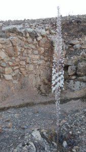 חצב מצוי פורח למרגלות החומה מימי המרד הגדול. צילום אבי שמידע ©