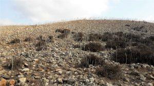 שדה החצבים בתל-יודפת, בקדמה - סורה קוצנית במפנה צפון מזרחי. צילום אבי שמידע ©