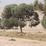 אקליפטוס הצוארון. צילום: יעל אורגד ©