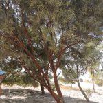 אקליפטוס מריתי. צילום: יעל אורגד ©