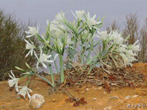 חבצלת הנגב. צילום: יעל אורגד ©