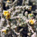 מתנן שעיר זכר בפריחה. צילום: יעל אורגד ©