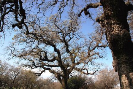 Read more about the article האם אלון התבור נמצא בשלבי מעבר מעץ נשיר חורף לירוק עד?