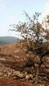 שרביטן מצוי על עוזרר קוצני ביודפת העתיקה. צילום: זאב שביט ©