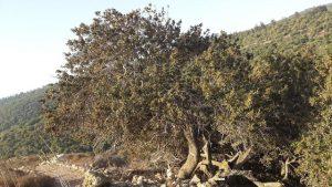 אלת המסטיק בשלוחה הדרומית של יודפת העתיקה. צילום: אבי שמידע ©