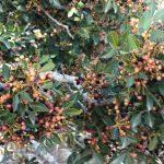 פירות של אלת המסטיק, יודפת העתיקה. צילום: אבי שמידע ©