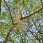פרי משונץ במידה מועטה של ינבוט המסקיטו צילם: בני שלמון ©