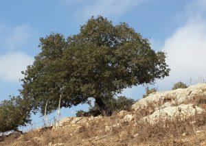 אלון התבור קשיש ובודד בגבעת יודפת העתיקה. צילום: אבי שמידע ©