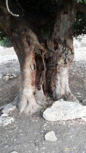 גזע עץ החרוב העבה ביותר ביודפת העתיקה. צילום זאב שביט ©
