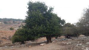 החרוב הקשיש (זכר) בגבעת יודפת. צילום: אבי שמידע ©