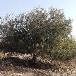 אלה ארץ-ישראלית בשלוחה הדרומית של יודפת העתיקה. צילום: אבי שמידע ©