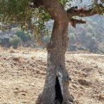 אלה ארץ-ישראלית ביודפת העתיקה. צילום: אבי שמידע ©