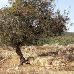 אלה ארץ-ישראלית ששורשיה ממוקמים בקיר מגדל שמירה מימי המרד הגדול. צילום: אבי שמידע ©