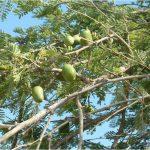 """עץ כלאים של ינבוט אמריקאי זר בעל פירות """"כדוריים"""". צילם: בני שלמון ©"""