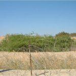 חורשת ינבוט המסקיטו בשקע של תעלת ביטחון בדרום הערבה. צילם: בני שלמון ©