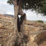 גזע חלול של לבנה רפואי ביודפת העתיקה. צילום: זאב שביט ©