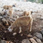 כבשים מחפשות פירות לבנה רפואי מתחת לעצים. צילום: זאב שביט ©
